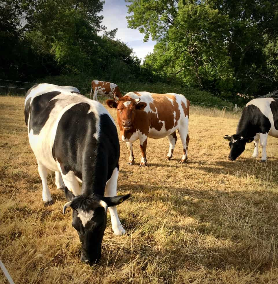 Sheltand Cattle